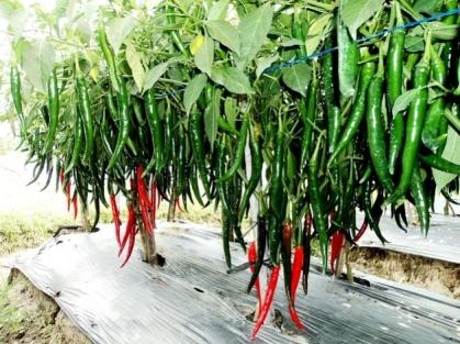 Budidaya tanaman cabai